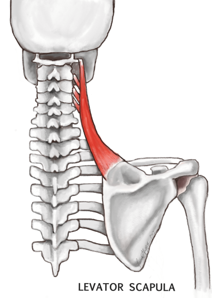 levator scapula illustration